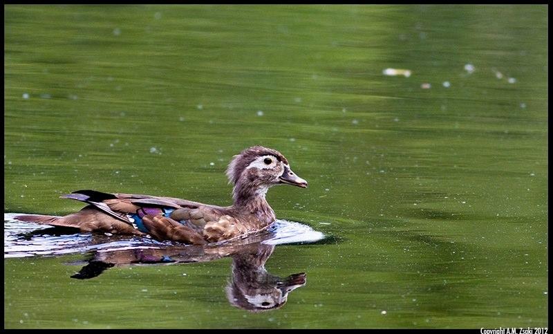 Wood Duck female (Aix Sponsa) – Mont St. Bruno