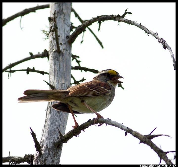 White-throated Sparrow (Zonotrichia albicollis) – Algonquin Provincial Park, Ontario