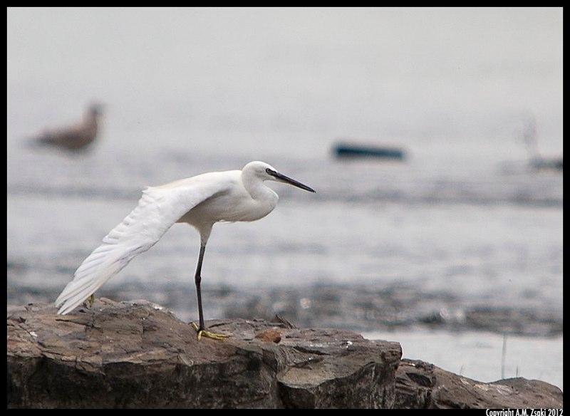 Little Egret (Egretta Garzetta) – Ste. Catherine Locks, Quebec