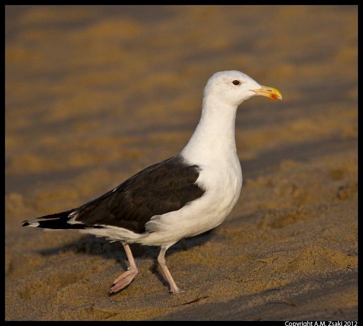 Great Black-backed Gull (Larus marinus) – Cape Cod National Seashore, Massachusetts