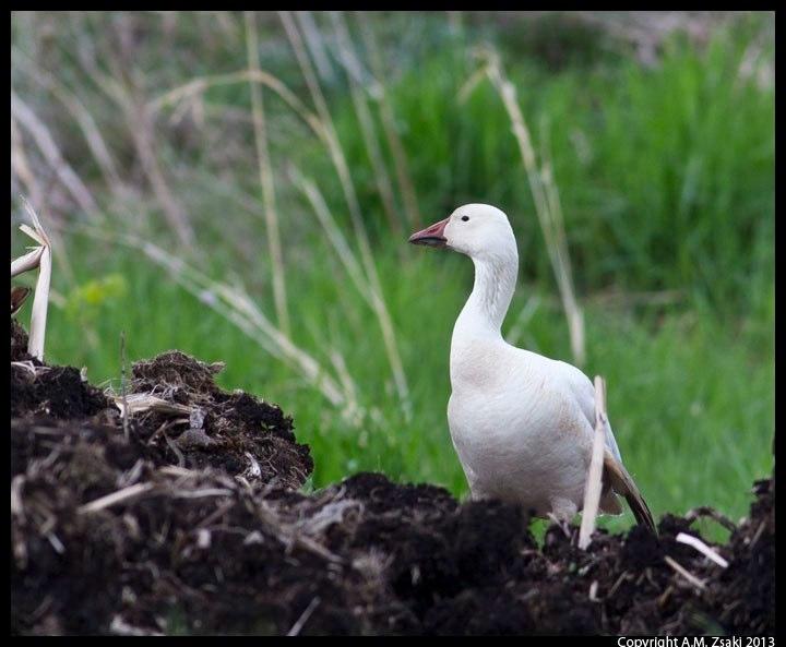 Snow Goose (Chen caerulescens) – Montezuma Wildlife Refuge, New York