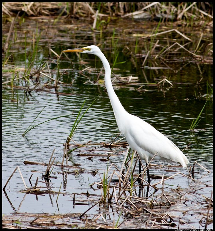 Great Egret (Ardea Alba) – Lachine Rapids, Montreal, quebec