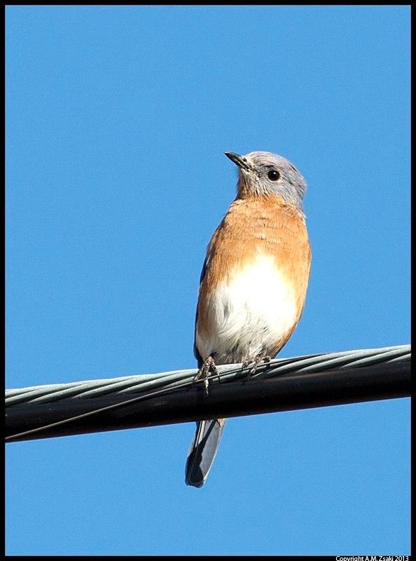 Eastern Bluebird (Sialia Sialis) – Domaine St. Bernard – Mont Tremblant, Quebec