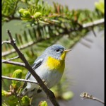Northern Parula (Setophaga americana) - Acadia National Park, Maine