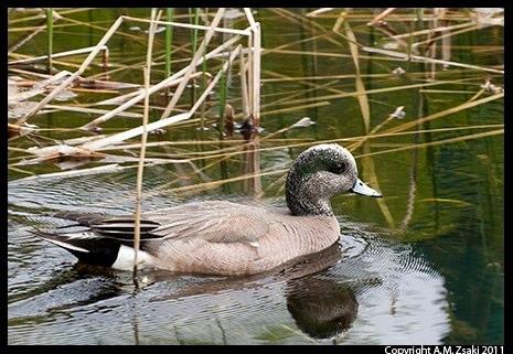 American Wigeon (Anas americana) – Ile des Soeurs, Quebec