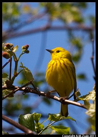 Yellow Warbler (Dendroica petechia) – Ile St. Bernard, Quebec