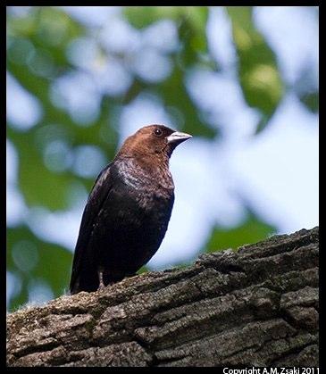 Brown-headed Cowbird (Molothrus ater) – Ile St. Bernard, Quebec