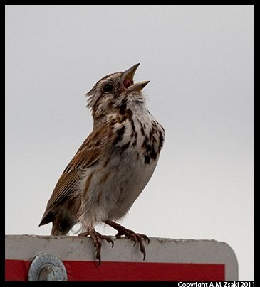 Song Sparrow (Melospiza melodia) – Lachine Rapids, Quebec