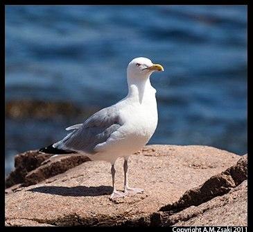 Herring Gull (Larus argentatus) – Acadia National Park, Maine