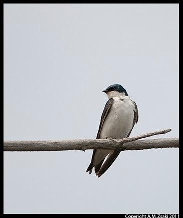 Tree Swallow (Tachycineta bicolor) – Ile Bizard, Quebec
