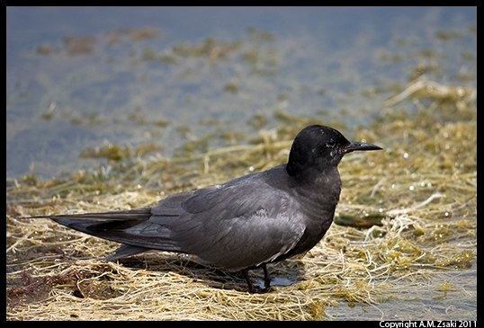 Black Tern (Chlidonias niger) – Ile Bizard, Quebec