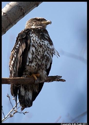 Bald Eagle juvenile (Haliaeetus leucocephalus) – Vermont