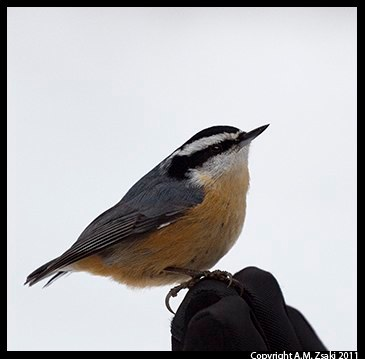 Red-breasted Nuthatch (Sitta canadensis) – Mont Tremblant Park, Quebec
