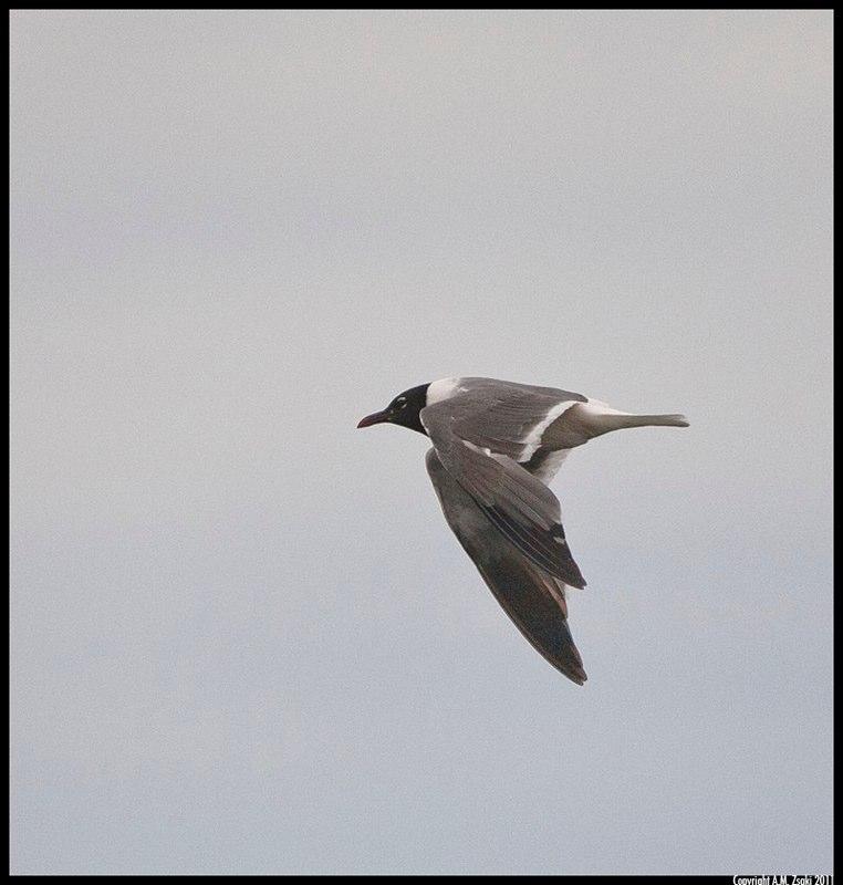 Laughing Gull (Leucophaeus atricilla) – Acadia National Park, Maine