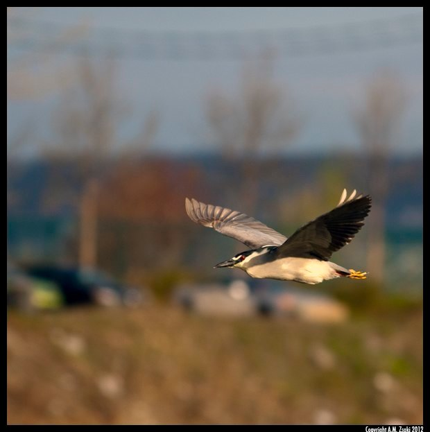 Black-crowned Night Heron (Nycticorax nycticorax) – Ile de Soeurs, Quebec