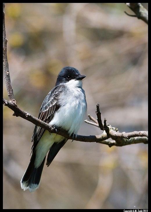 Eastern Phoebe (Sayornis phoebe) – Missisquoi NWR, Vermont