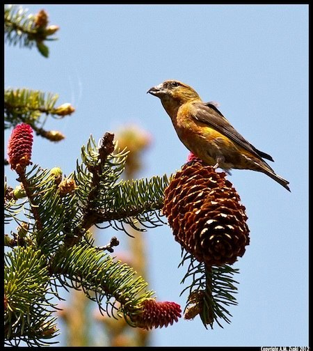 Red Crossbill (Laxia curvirostra) – Domaine St. Bernard, Mont Tremblant, Quebec