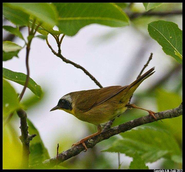 Common Yellowthroat (Geothlypis trichas) – Northeast Kingdom, Vermont