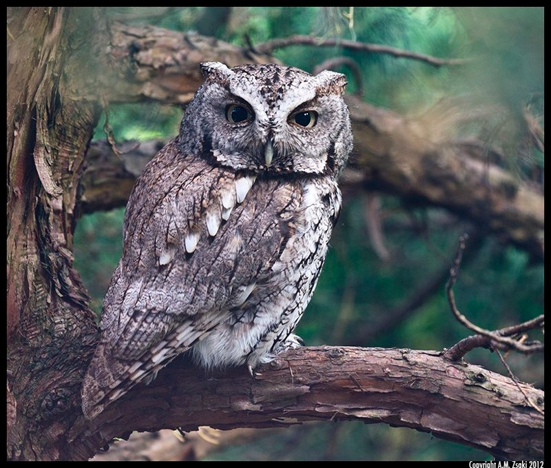 Eastern Screech Owl – Gray Morph (Megascops asio) – Ile des Soeurs, Montreal