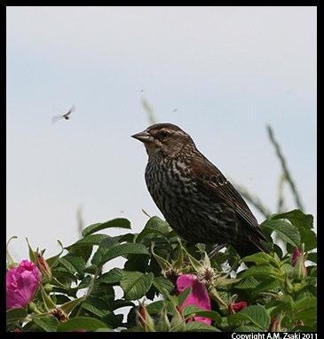 Red-winged Blackbird female (Agelaius phoeniceus) – Lachine Rapids, Montreal