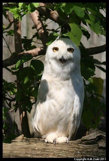 Snowy Owl (Bubo scandiacus) – Ecomuseum, Montreal