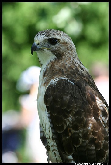 Red-tailed Hawk (Buteo jamaicensis) – Ecomuseum, Montreal