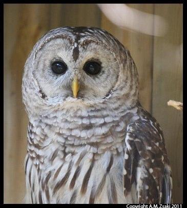 Barred Owl (Strix varia) – Ecomuseum, Montreal