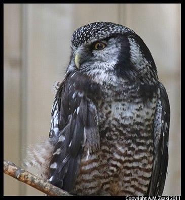 Northern Hawk Owl (Surnia ulula) – Ecomuseum, Montreal