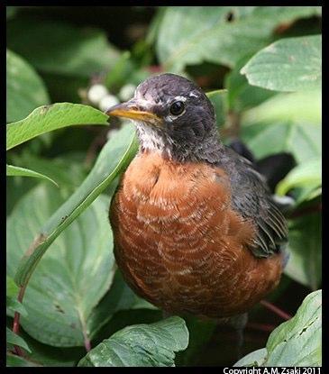 American Robin (Turdus migratorius) – Lachine Rapids, Montreal