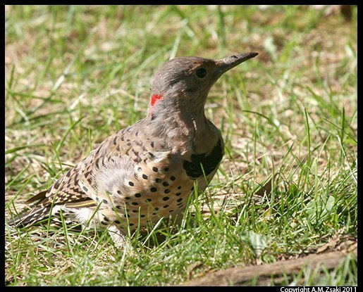 Northern Flicker (Colaptes auratus) – St. Lawrence Seaway, Montreal