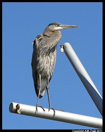 Great Blue Heron (Ardea herodias) – Ile des Soeurs, Quebec