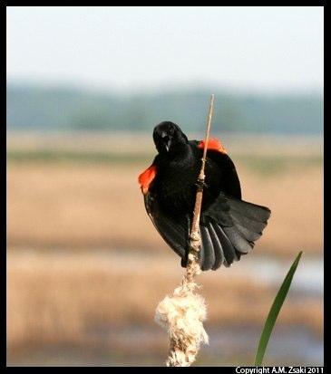 Red-winged Blackbird (Agelaius phoeniceus) – Montezuma Wildlife Refuge, New York