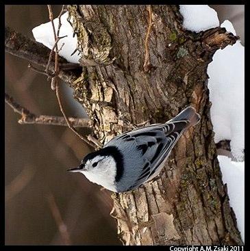 White-breasted Nuthatch (Sitta carolinensis) – Mont St. Bruno Park, Quebec