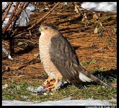 Cooper's Hawk (Accipiter cooperii) – Montreal Botanical Gardens