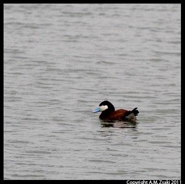 Ruddy Duck (Oxyura jamaicensis) – Baie de Febvre, Quebec
