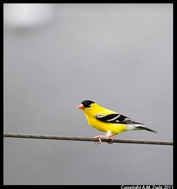 American Goldfinch (Spinus tristis) – Cleveland, Ohio