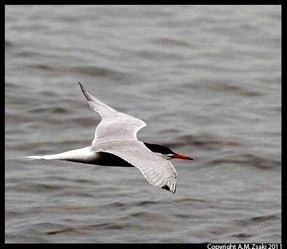 Common Tern (Sterna hirundo) – Mont Tremblant Park, Quebec