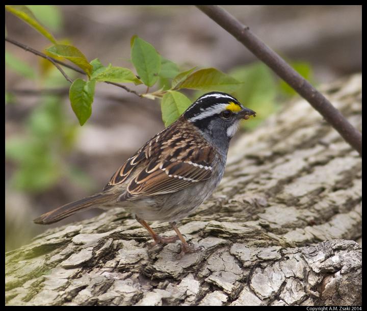 White-throated Sparrow (Zonotrichia albicollis) – Ile des Soeurs, Qc