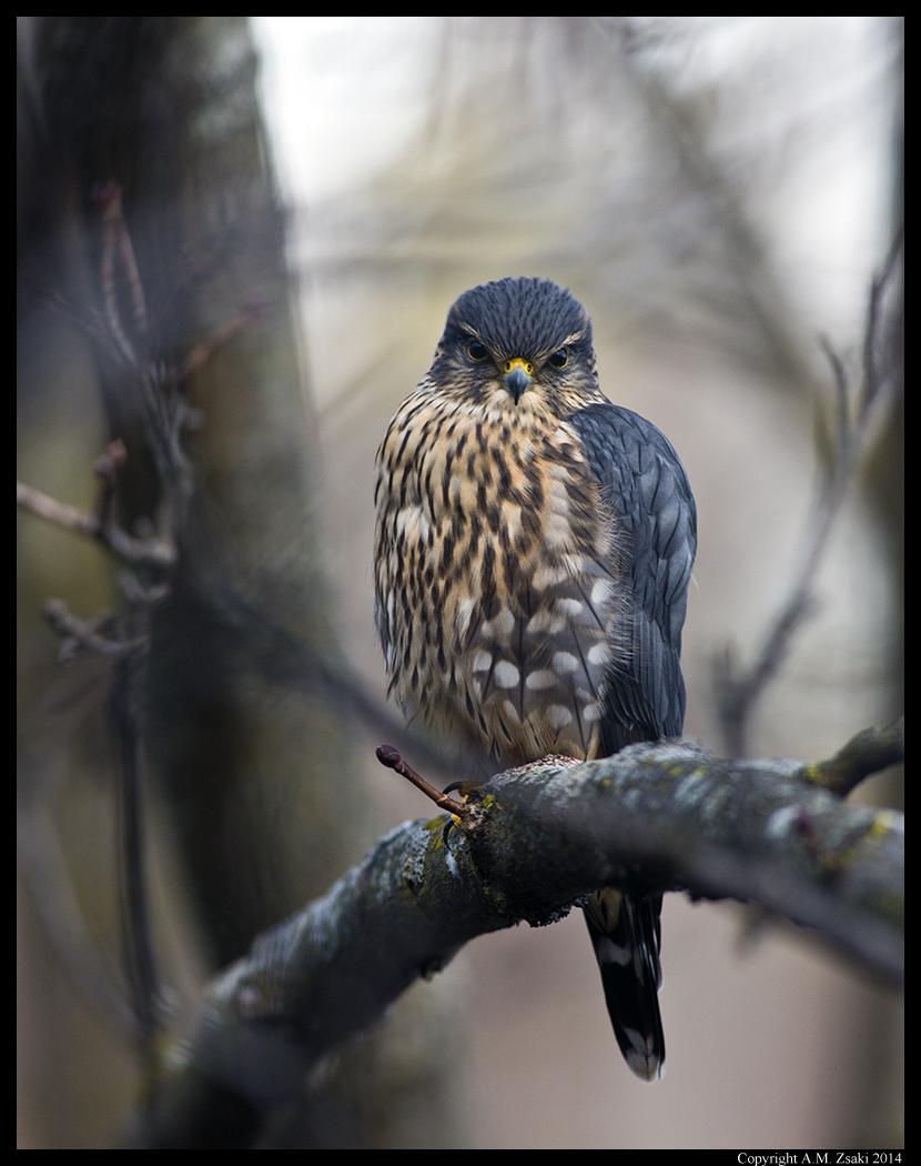 Merlin (Falco Columbarius) - Ile des Soeurs, Qc